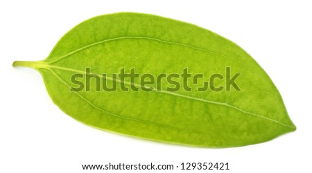 Cinnamon leaf over white background