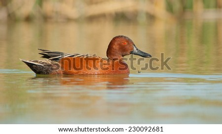 Cinnamon Teal (Anas cyanoptera) swimming. Patagonia, Argentina, South America. - stock photo