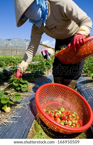 CIRCA MAY 2011 - DALAT, VIETNAM - Worker at a strawberry farm, on 25 May 2011, near Dalat, Vietnam