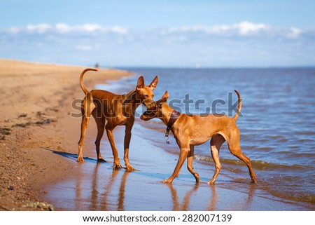 Cirneco dell'Etna dog - stock photo