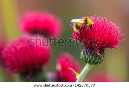 Cirsium rivulare 'Atropurpureum' (Brook thistle) - stock photo