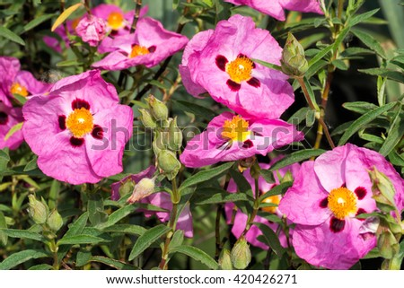 Cistus in flower. Beautiful papery bright pink flowers. Ideal in hot dry garden border. - stock photo