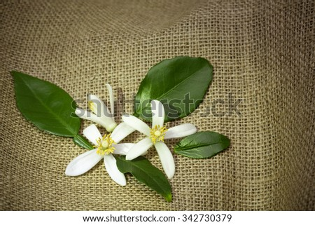 Citrus blossom on rural textile. Gardening concept image. - stock photo
