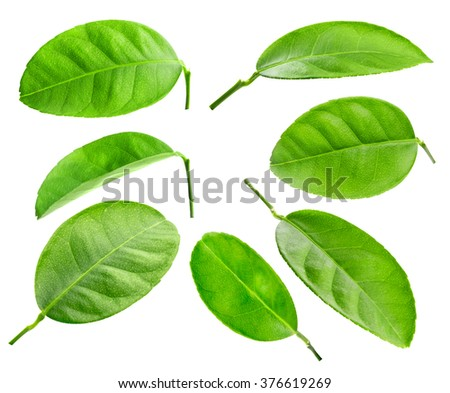 Citrus leaves collection with drops isolated - stock photo