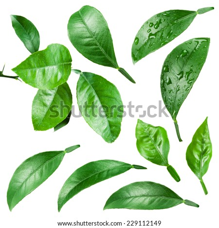 Citrus leaves with drops isolated on white background. - stock photo