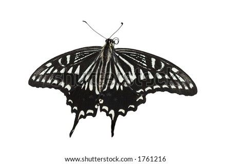 Citrus Swallowtail butterfly - Papilio Xuthus Linnaeus, with clipping path - stock photo