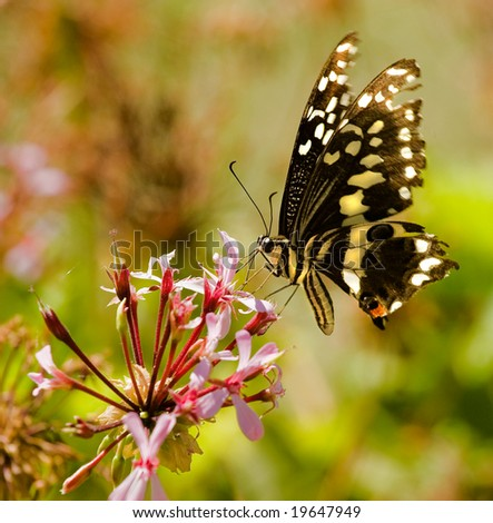 citrus swallowtail butterfly seen drinking nectar from pink flower with moving wings and proboscis visible - stock photo
