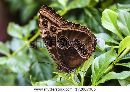 Citrus Swallowtail (Papilio demodocus)  - stock photo