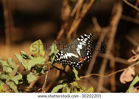 Citrus Swallowtail (Papilio demodocus) in the Okavango Delta in Botswana.