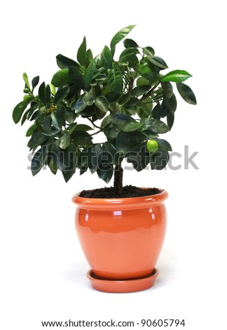 citrus tree in the pot isolated on white