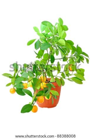 Citrus tree isolated on white background - stock photo