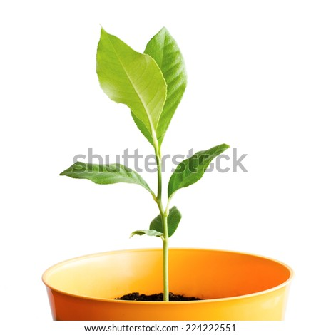citrus tree sprout in yellow pot isolated on white background - stock photo
