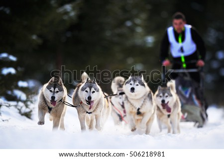 "CIUMANI, ROMANIA - January 16: Dog sledding with husky on ""International dog sled competition"" January 10, 2016 in Ciumani, Romania"