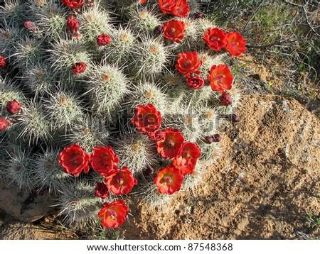 Claret Cup Cactus, Hedgehog - stock photo