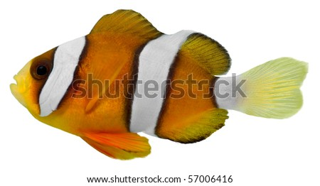 Clark Clown Fish isolated in white background (Amphirion clarkii) - stock photo