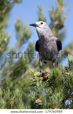 Clark's Nutcracker in a pine tree in Dinosaur National Monument - stock photo