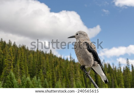 Clark's nutcracker on the Parkway in Canada - stock photo