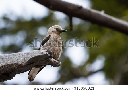 Clark's Nutcracker perched on a tree with natural greenery in the background