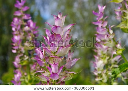 clary sage plant in garden in summer - stock photo
