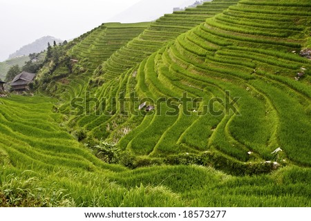 classic Asian rice field background - stock photo
