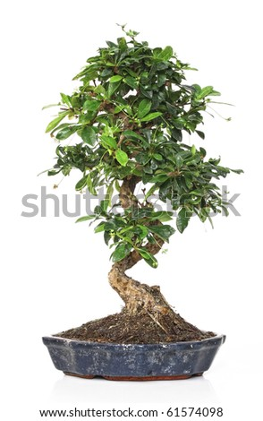 classic bonsai plant in a pot isolated on white - stock photo