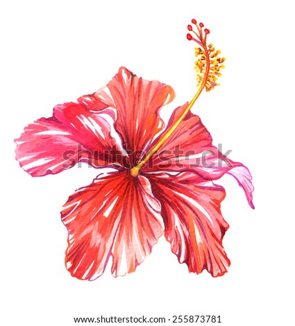 classic hibiscus flower isolated on white. watercolor illustration. gorgeous tropical plant. - stock photo