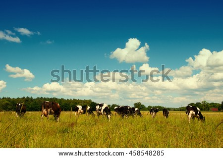 classic milk cow in a pasture.