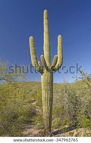 Classic Saguaro Cactus in the Organ Pipe National Monument in Arizona