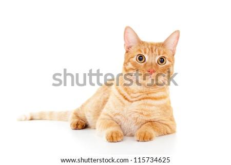 Classy red cat lying on white floor - stock photo