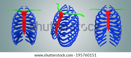 Clavicle with sternum - stock photo