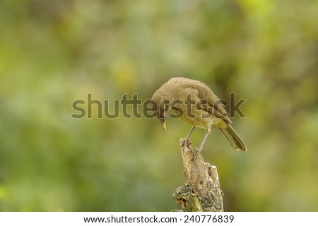 Clay-colored Thrush or Yiguirro is the national bird of Costa Rica. - stock photo