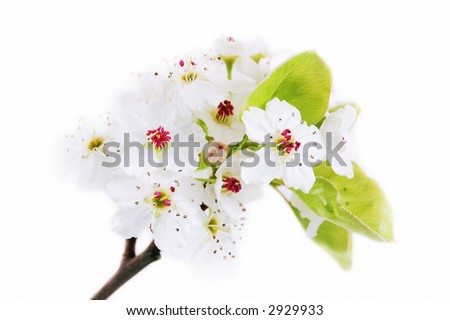 Clean White Blossoms