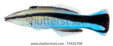 Cleaner Wrasse fish isolated in white background. Labroides Dimidiatus