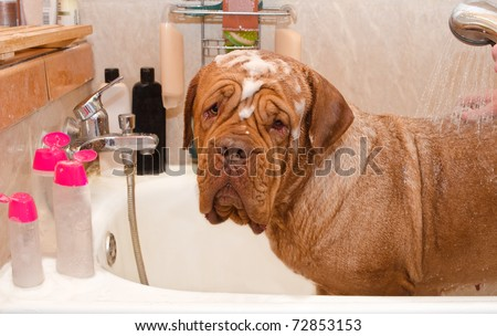 Cleaning the Dog of Dogue De Bordeax Breed in bath - stock photo