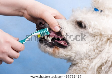 cleaning the teeth of a dog - stock photo