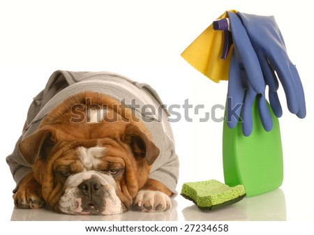 cleaning up after a bad dog - english bulldog with spray bottle and sponge - stock photo