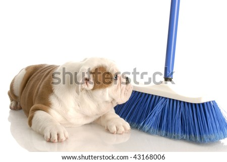 cleaning up after new puppy - eight week old english bulldog - stock photo