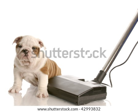 cleaning up after puppy - english bulldog puppy sitting beside vacuum - stock photo