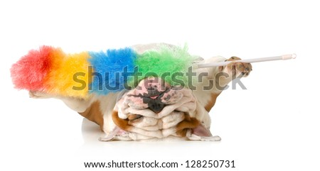 cleaning up after the dog - english bulldog upside down holding feather duster isolated on white background - stock photo