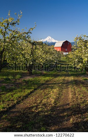 Clear blue morning in an orchard leading to a barn with mount hood in the background - stock photo