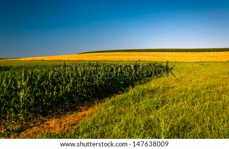 Clear blue sky over corn fields on a farm in Southern York County, Pennsylvania. - stock photo