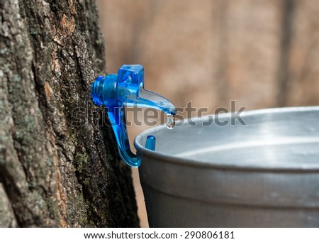 Clear maple sap dripping into bucket. Canadian life. Sap is collected to make maple syrup.  - stock photo