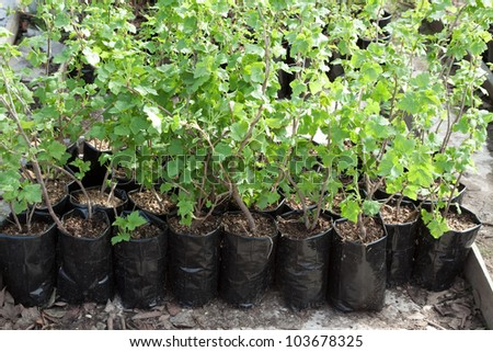 clearance sale of currants sprouts in pots during spring - stock photo
