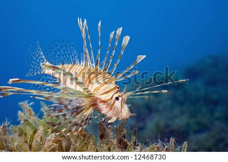 clearfin lionfish (pterois radiata) - stock photo