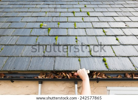clearing blocked gutter of autumn leaves slate roof - stock photo