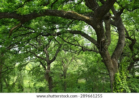 clearing covered with tall trees . forest of tall trees - stock photo