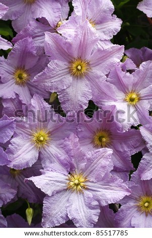 Clematis - stock photo