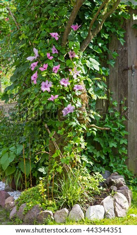 Clematis and Evy are growing in the Garden around a Tree, a example for natural garden landscaping. - stock photo