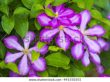 clematis. Beautiful purple flowers of clematis over green background. Purple clematis flowers.clematis flowers. - stock photo