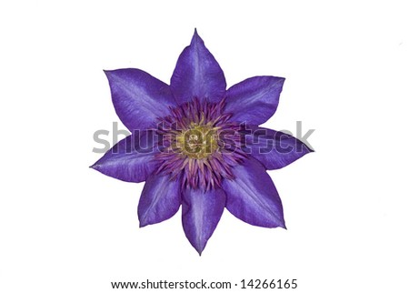 Clematis (Blue Flower) - stock photo